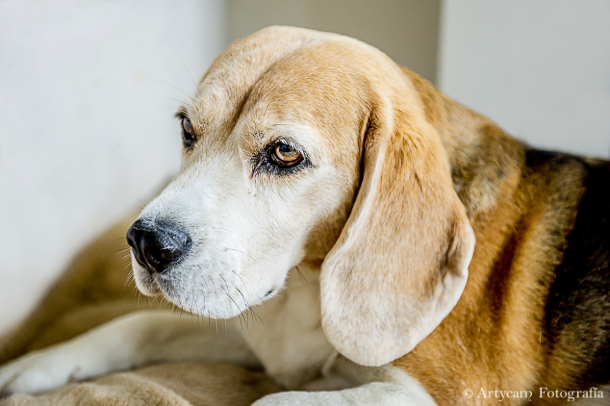 perro marron boda Artycam fotografia Asturias